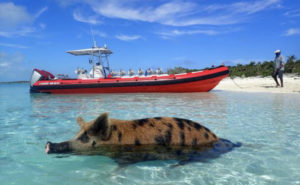 The Grand Bahama Sandbar Swimming Pig